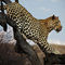 Grandes felinos africanos.