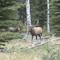 Fabulosos machos de elk.