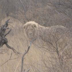 Leones en la selva.