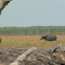 Caça de búfalo de água na Austrália.