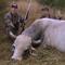 Caça do touro selvagem australiano.