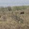 Safari de facocheros no Paraíso. Kwazulu Natal IV.