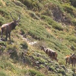 Ciervos de alta montaña, la caza más salvaje.