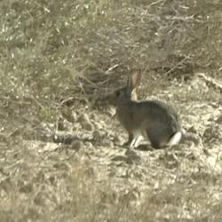 Caça ao salto de perdizes e coelhos em Aragón.
