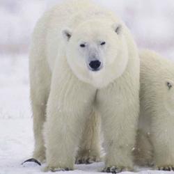 Caza de oso blanco en Canadá.