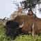Veados, Ibex, bisontes no Texas.