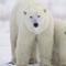 Caça de urso branco no Canadá (2)