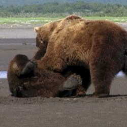 Caza primaveral de osos en Alaska (segunda parte).
