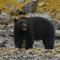 Meat Eater: Oso de Alaska en primavera y comida de mar.