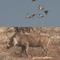 Caça de facocheros na África do Sul e caça de patos ao entardecer.